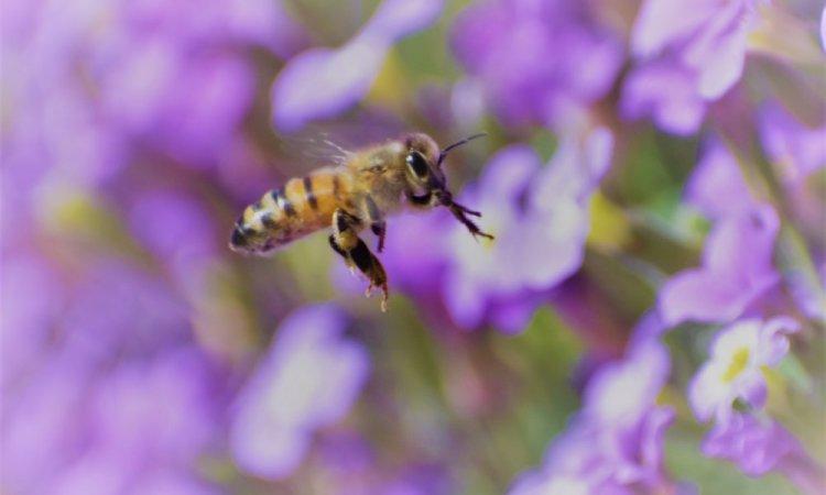 Les abeilles, bien trop nombreuses pour qu'on les oublie !!