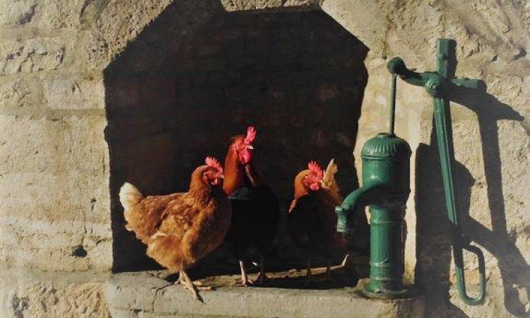 Les poules de la fontaine aux oiseaux !